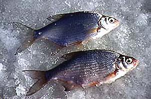 клюет ли рыба на хлеб зимой